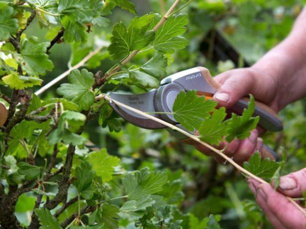 Агрус: що робити з чагарником після збору врожаю