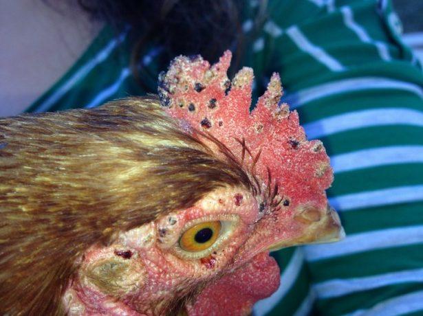 Червоний курячий кліщ: як позбутися від шкідника і захистити птахів