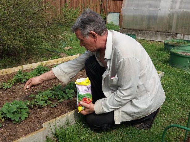 Правильний догляд за полуничними грядками після плодоношення-запорука майбутнього врожаю