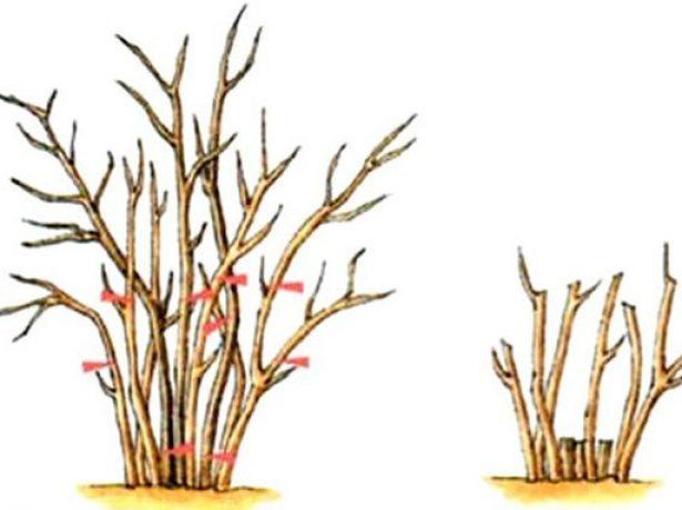 Коли і як правильно обрізати агрус після збору врожаю