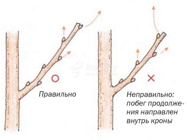 Обрізка червоної смородини після збору врожаю: основні правила і докладні інструкції