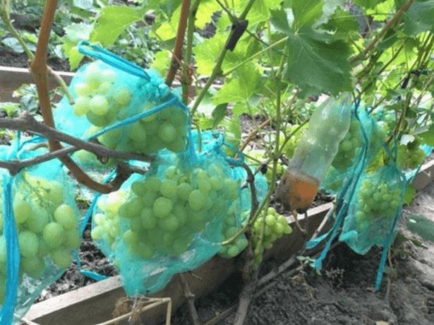 Щоб зрілий та не хворів: роботи у винограді в серпні