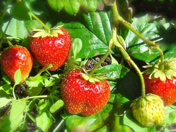 Як зробити ягоди і фрукти солодше: медовий розчин, борна кислота та інші секрети