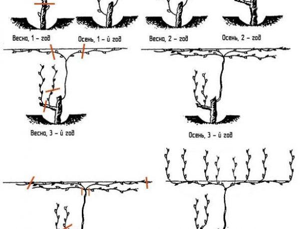 Що потрібно знати про весняну обрізку винограду