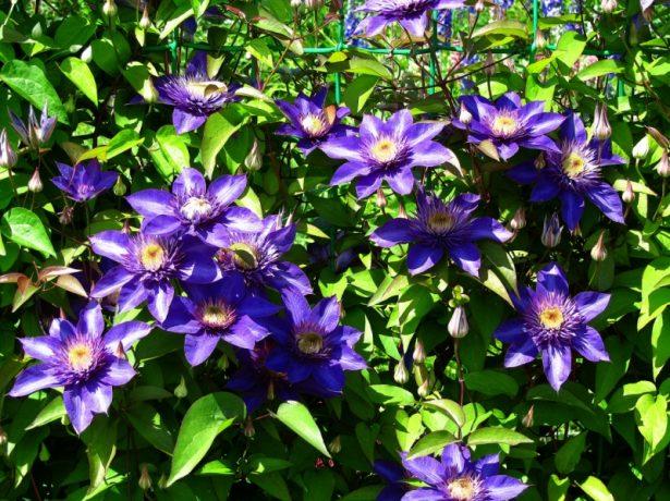 Мульти блю: кущоподібний клематис з махровими квітками