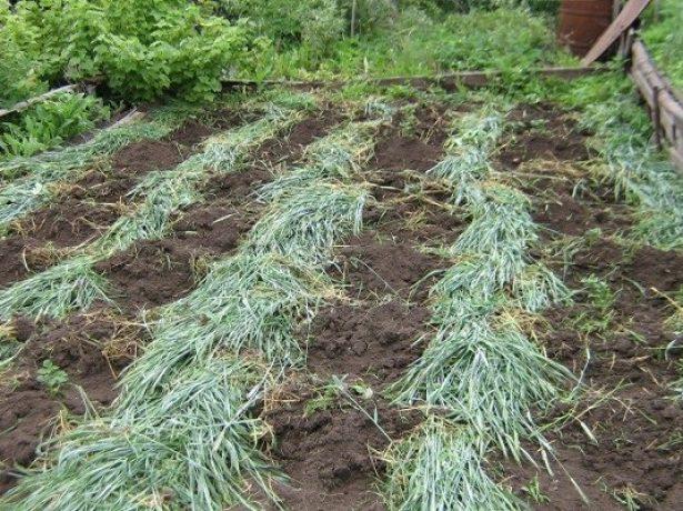 Жито як сидерат: посадка, вирощування, способи застосування