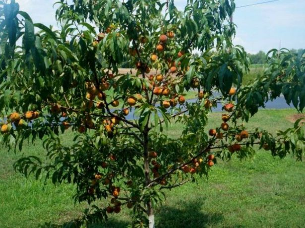 Грінсборо-американський сорт персика, відомий у всьому світі