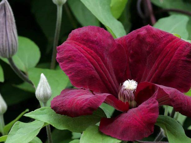 Руж кардинал: клематис з пелюстками королівського пурпурного кольору