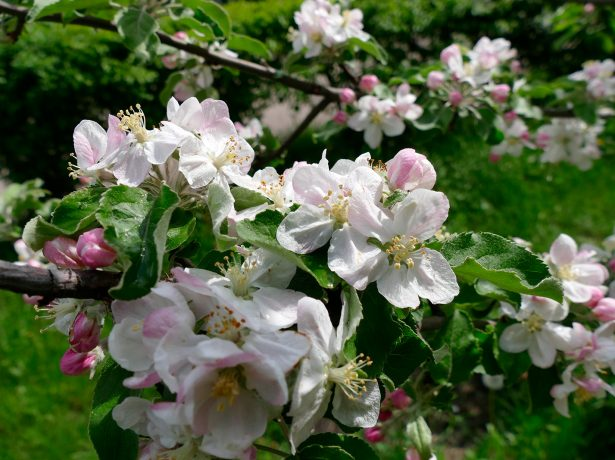 Чим підгодовувати яблуні і груші влітку, щоб отримати хороший урожай