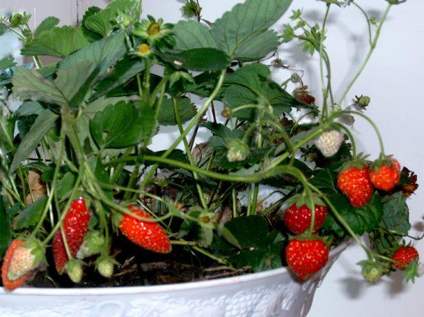Зимова ягідка: ростимо полуницю на підвіконні взимку