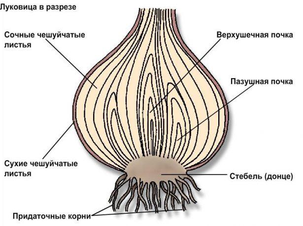 Як якісно просушити цибулю після збирання на зиму