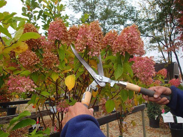Догляд за гортензією восени і підготовка до зимівлі