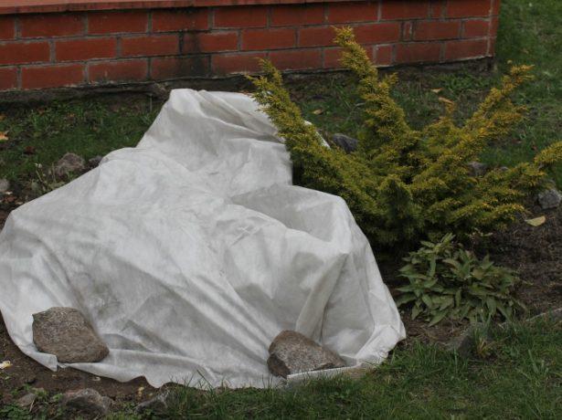 Як правильно укрити троянди, щоб вони перезимували без шкоди