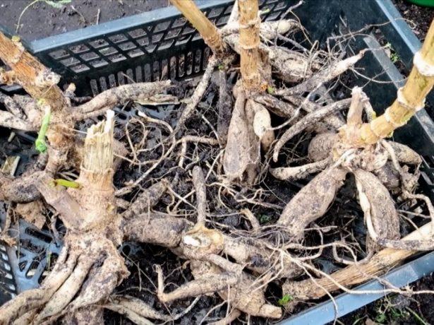 Жоржини: чи варто викопувати кореневища восени і як зберігати їх взимку