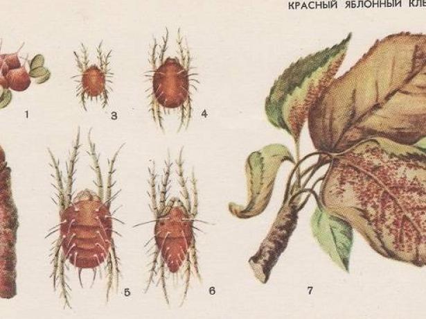 Червоний павутинний кліщ-ворог рослин, але не людини