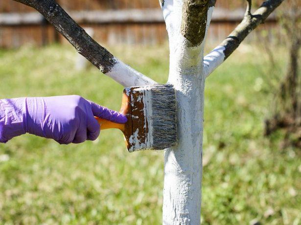 Слива восени: як підготувати дерево до зими