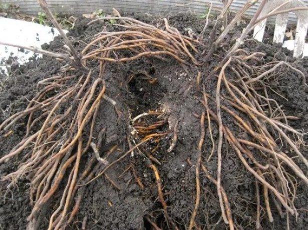 Клематиси: чи варто пересаджувати їх восени і як це правильно робити