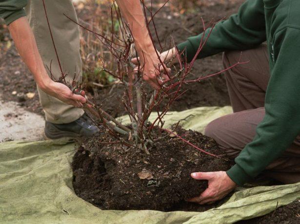 Закладаємо майбутній урожай жимолості: осінній догляд і підготовка до зимівлі