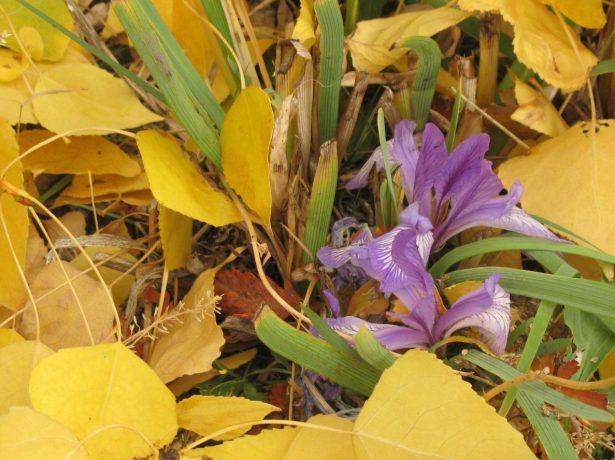 Догляд за ірисами восени