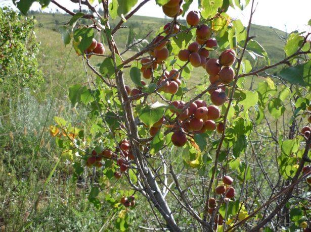 Вибираємо підщепи для абрикоса: сильнорослі, карликові і напівкарликові