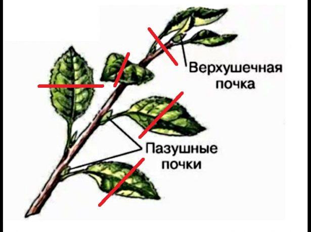 Підщепа для яблуні-основа успішного вирощування плодового дерева