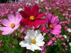 Чекаємо зими-садимо квіти: подзимняя посадка однорічників і багаторічників
