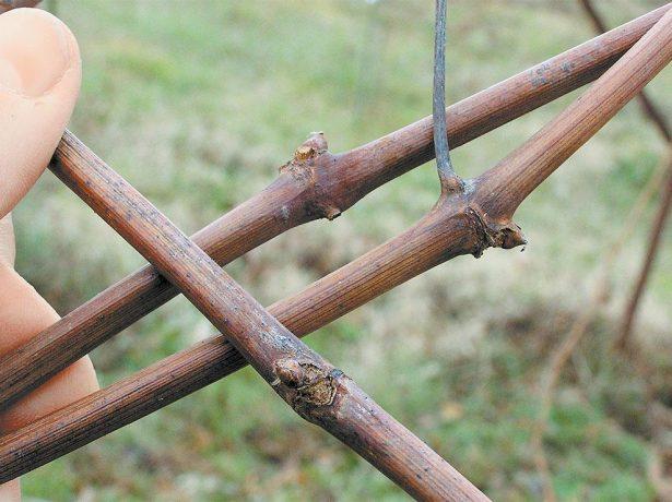 Осіння обробка винограду: захищаємо лози від хвороб і шкідників