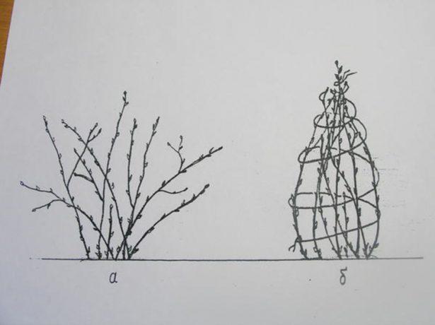 Повязуємо гілки смородини на зиму: чи потрібна ця процедура