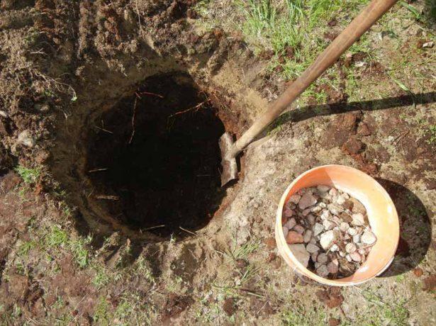 Черешня світхарт: сортові особливості та нюанси вирощування