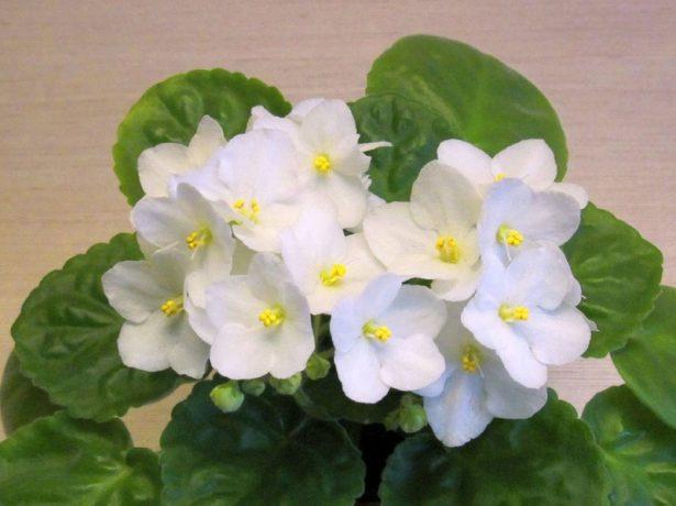 Або фіалку в будинок, або чоловіка: чому незаміжнім народний поголос не велить ростити ці ніжні квіти