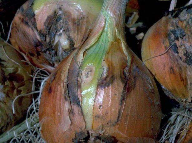 Як зберегти урожай ріпчастої цибулі в домашніх умовах