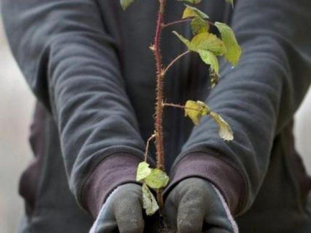 Правила пересадки малини восени