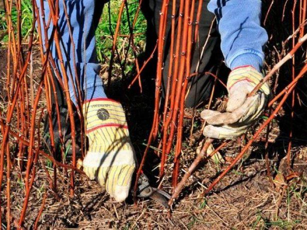 Чому на півдні омолоджувати кущі малини краще навесні