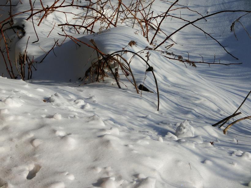 Нема чого різати і вкривати: навіщо і де садівники залишають в зиму всі пагони і поросль малини