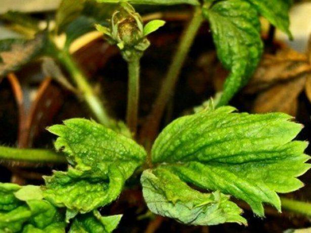 Обробка полуниці восени: захищаємо посадки від шкідників і хвороб