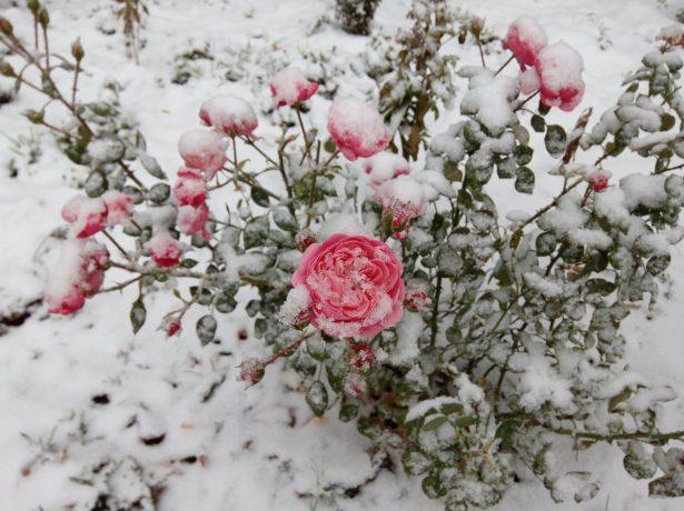 Як підготувати троянди до зими, щоб цариці саду не замерзли