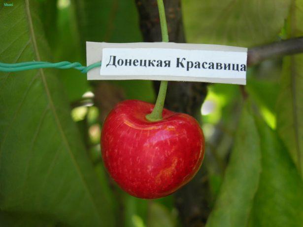 Якщо черешня, то найбільша: 15 найбільш великоплідних сортів, популярних в росії і світі