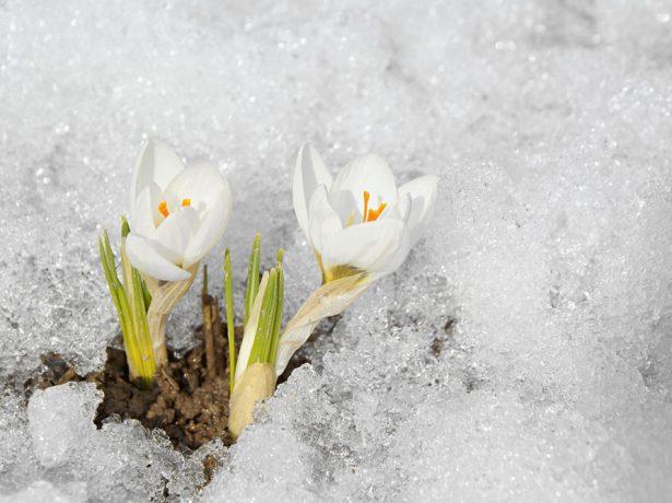 Зимові відлиги: 10 культур, які часто страждають від раптового зимового потелпенія