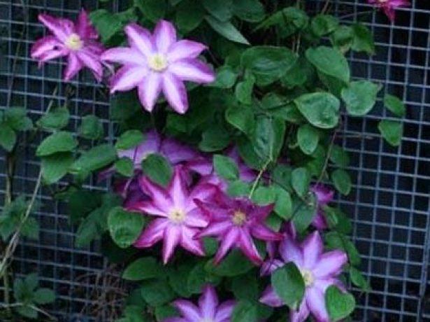 Японський клематис какіо (пінк шампань): опис гібрида і нюанси вирощування