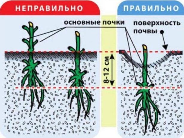 Дрібноквітковий клематис маньчжурський-далекосхідний гість
