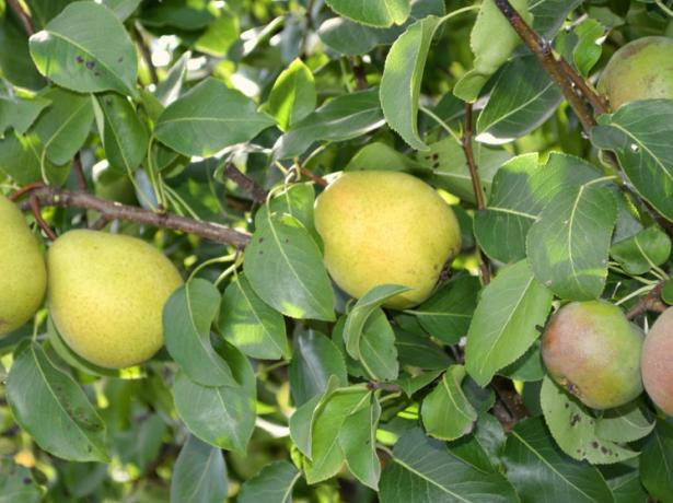 Чи можна прищепити яблуню на березу: цікавий експеримент і його результати