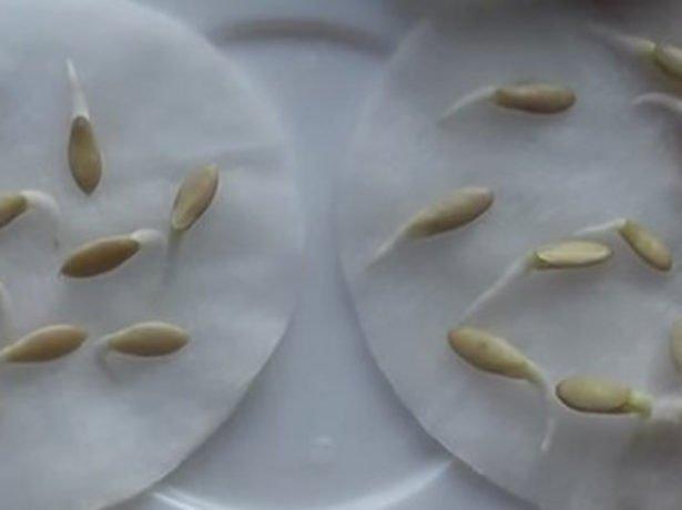 Пророщування насіння огірків-перший крок до доброго врожаю