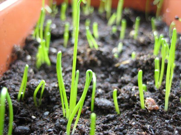 Вирощування цибулі-порею розсадою: всі нюанси і тонкощі