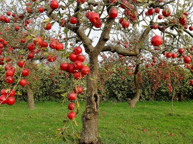 Розширюємо яблуневий сад-все про осінню посадку яблунь