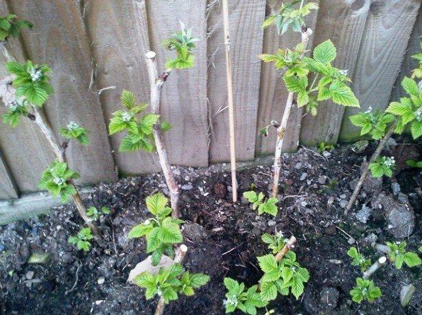 Ремонтантна малина-обрізка і правильний догляд для отримання відмінного врожаю