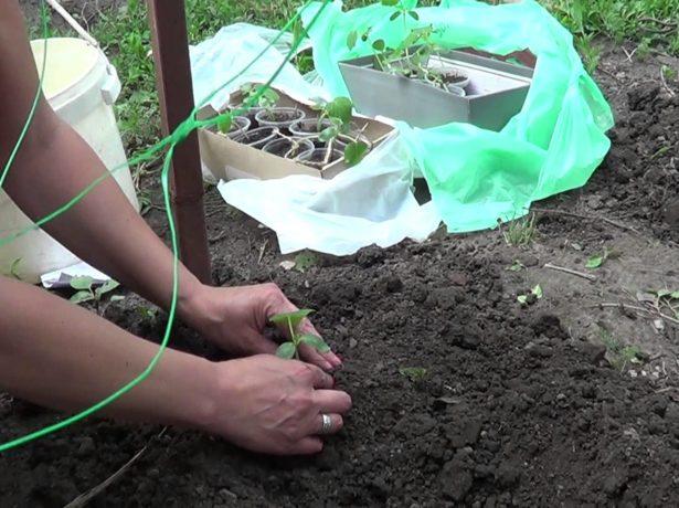 Сорт огірків еколь f1: важливі аспекти вирощування та догляду