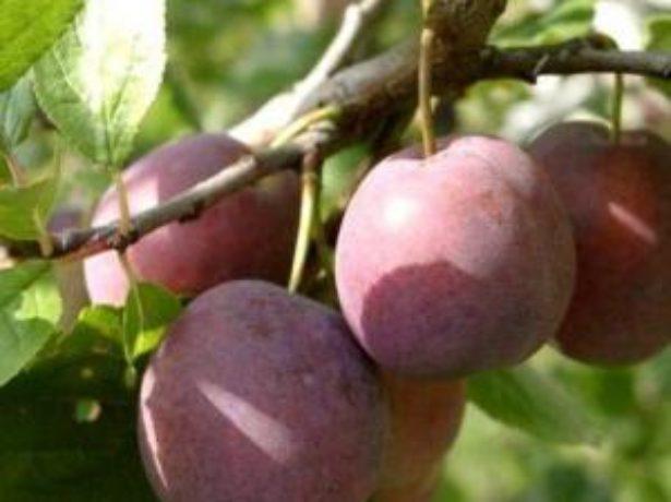 Слива євразія: як вирощувати ранній і зимостійкий сорт
