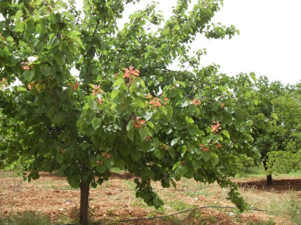 Абрикос монастирський-великі і солодкі плоди при мінімальному догляді