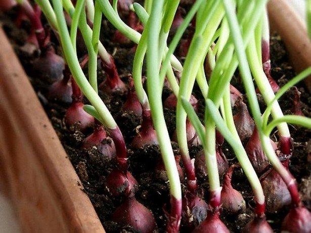 Свіжа зелена цибуля на вашому вікні-як виростити цибулю в домашніх умовах