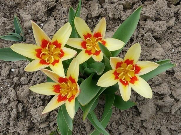 Тюльпани в дизайні саду-як красиво посадити ці весняні квіти в саду